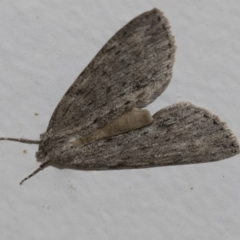 Chlenias banksiaria group (A Geometer moth) at Higgins, ACT - 4 Jun 2021 by AlisonMilton
