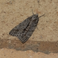 Chlenias banksiaria group (A Geometer moth) at Higgins, ACT - 6 Jun 2021 by AlisonMilton