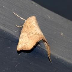 Mnesampela privata (Autumn Gum Moth) at Higgins, ACT - 10 May 2021 by AlisonMilton
