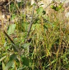 Solanum nigrum (Black-berry Nightshade) at Goulburn, NSW - 16 Jun 2021 by Rixon