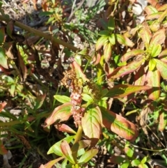 Phytolacca octandra (Inkweed) at Goulburn, NSW - 16 Jun 2021 by Rixon