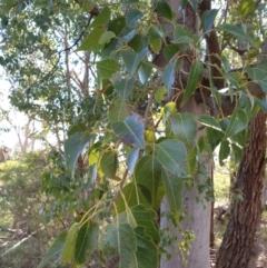 Brachychiton populneus (Kurrajong) at Goulburn, NSW - 16 Jun 2021 by Rixon