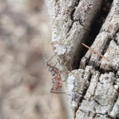 Reduviidae sp. (family) (An assassin bug) at Goulburn, NSW - 16 Jun 2021 by Rixon
