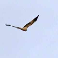 Haliastur sphenurus (Whistling Kite) at Fyshwick, ACT - 18 Jun 2021 by RodDeb