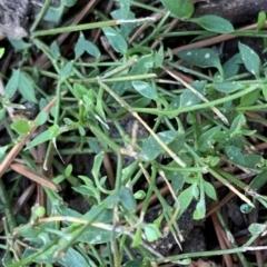 Einadia nutans subsp. nutans (Climbing Saltbush) at Braddon, ACT - 15 Jun 2021 by JanetRussell