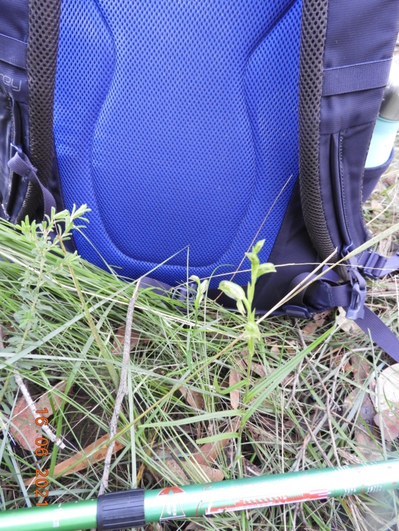 Pterostylis longifolia at Bundanoon, NSW - 16 Jun 2021