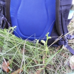 Pterostylis longifolia (Tall Greenhood) at Bundanoon, NSW - 16 Jun 2021 by Wonga