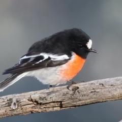 Petroica boodang (Scarlet Robin) at Majura, ACT - 19 Jun 2021 by jbromilow50