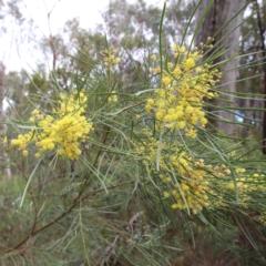 Acacia boormanii (Snowy River Wattle) at O'Connor, ACT - 20 Jun 2021 by ConBoekel