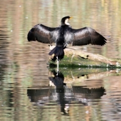Microcarbo melanoleucos (Little Pied Cormorant) at West Albury, NSW - 20 Jun 2021 by Kyliegw