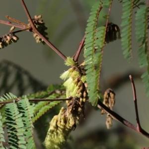 Paraserianthes lophantha subsp. lophantha at West Albury, NSW - 20 Jun 2021