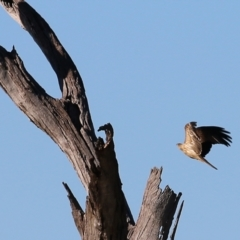 Haliastur sphenurus (Whistling Kite) at West Albury, NSW - 20 Jun 2021 by Kyliegw