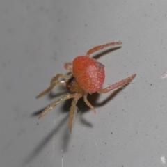 Arkys sp. (genus) (An Ambush, Bird-dropping or Triangular Spider) at Downer, ACT - 20 Jun 2021 by TimL