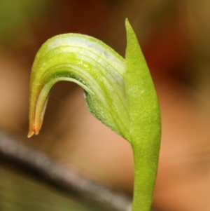 Pterostylis nutans (TBC) at suppressed by Snowflake