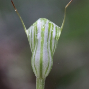 Pterostylis concinna at suppressed - 21 Jun 2021