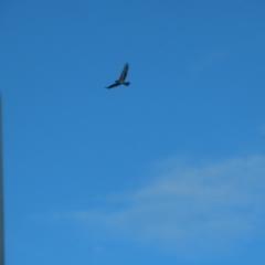 Hieraaetus morphnoides (Little Eagle) at Symonston, ACT - 21 Jun 2021 by roymcd