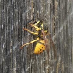 Vespula germanica (European wasp) at Conder, ACT - 3 Mar 2021 by michaelb