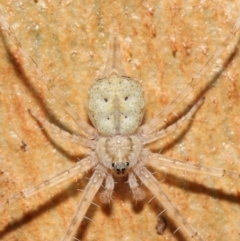Tamopsis sp. (genus) (Two-tailed spider) at Downer, ACT - 7 May 2021 by TimL