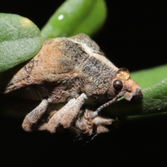 Gonipterus sp. (genus) (TBC) at Acton, ACT - 7 May 2021 by TimL