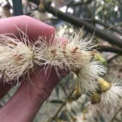 Eucalyptus leucoxylon (Yellow Gum) at Hughes, ACT - 11 Jun 2021 by Tapirlord