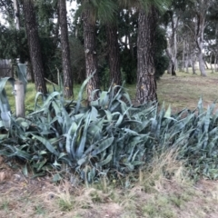 Agave americana (Century Plant) at Curtin, ACT - 12 Jun 2021 by Tapirlord