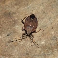 Poecilometis strigatus (Gum Tree Shield Bug) at Kambah, ACT - 19 Jun 2021 by MatthewFrawley