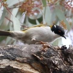Melithreptus lunatus (White-naped Honeyeater) at Majura, ACT - 22 Jun 2021 by jbromilow50