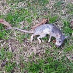Rattus rattus (Black Rat) at Kambah, ACT - 22 Jun 2021 by MatthewFrawley