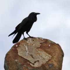 Unidentified Magpie or larger (TBC) at Coree, ACT - 21 Jun 2021 by RodDeb