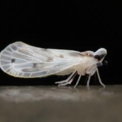 Kuranda notata (Derbid planthopper) at Acton, ACT - 5 May 2021 by TimL