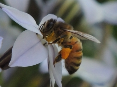 Apis mellifera (European honey bee) at Hurlstone Park, NSW - 13 Sep 2015 by michaelb