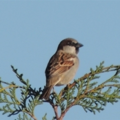 Passer domesticus (House Sparrow) at suppressed - 23 Jun 2021 by michaelb