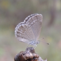 Zizina otis (Common Grass-Blue) at suppressed - 8 Jan 2018 by michaelb