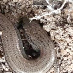 Hemiergis talbingoensis (Three-toed Skink) at Acton, ACT - 23 Jun 2021 by tpreston