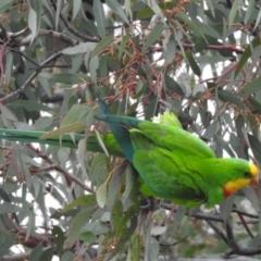 Polytelis swainsonii (Superb Parrot) at Wanniassa, ACT - 23 Jun 2021 by RodDeb