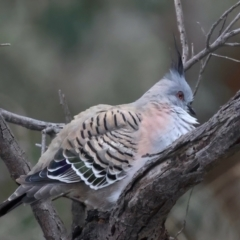 Ocyphaps lophotes (Crested Pigeon) at Ainslie, ACT - 23 Jun 2021 by jbromilow50