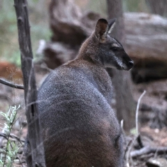 Macropus rufogriseus (Red-necked Wallaby) at Majura, ACT - 23 Jun 2021 by jbromilow50