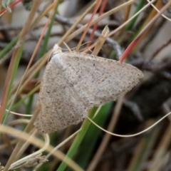 Casbia pallens (Pale Casbia) at Theodore, ACT - 22 Jun 2021 by Owen