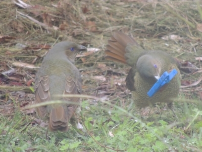 Ptilonorhynchus violaceus (Satin Bowerbird) at Undefined Area - 4 Apr 2014 by michaelb