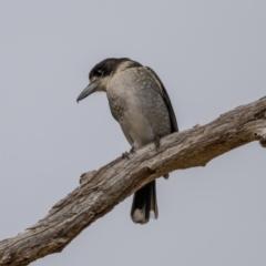 Cracticus torquatus (Grey Butcherbird) at Gunning, NSW - 19 Jun 2021 by trevsci