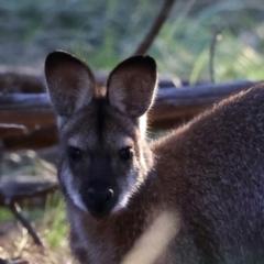 Macropus rufogriseus (Red-necked Wallaby) at Majura, ACT - 8 Jun 2021 by jbromilow50
