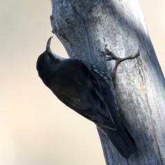 Cormobates leucophaea (White-throated Treecreeper) at Majura, ACT - 6 Jun 2021 by jbromilow50