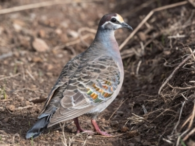 Phaps chalcoptera (Common Bronzewing) at Canyonleigh, NSW - 23 Jun 2021 by NigeHartley