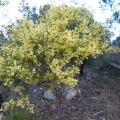 Acacia terminalis (Sunshine Wattle) at Boro, NSW - 21 Jun 2021 by Paul4K