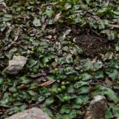 Unidentified Moss, Lichen, Liverwort, etc (TBC) at Boro, NSW - 23 Jun 2021 by Paul4K