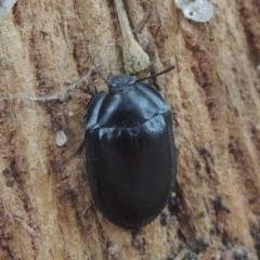 Pterohelaeus striatopunctatus (Darkling beetle) at Conder, ACT - 16 Mar 2021 by michaelb