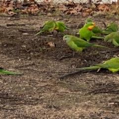 Polytelis swainsonii (Superb Parrot) at Wanniassa, ACT - 24 Jun 2021 by Shazw