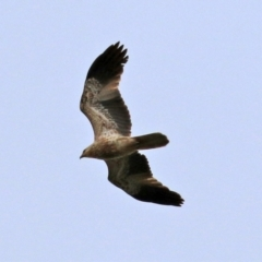 Haliastur sphenurus (Whistling Kite) at Fyshwick, ACT - 25 Jun 2021 by RodDeb