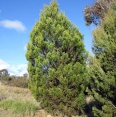 Callitris endlicheri (Black Cypress Pine) at Holt, ACT - 26 Jun 2021 by sangio7
