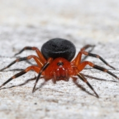 Nicodamidae sp. (family) (Red and Black Spider) at Acton, ACT - 25 Jun 2021 by TimL